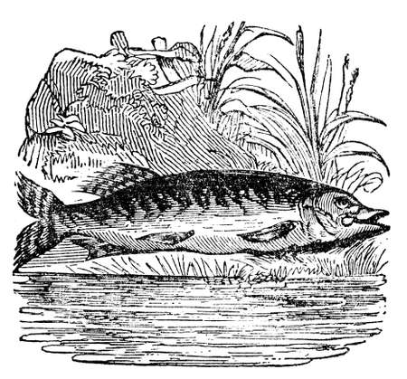 restored: Victorian engraving of a pike. Digitally restored image from a mid-19th century Encyclopaedia.