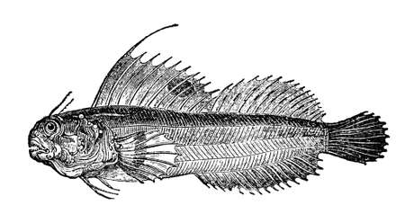 zoology: Victorian engraving of a blenny bird. Digitally restored image from a mid-19th century Encyclopaedia.