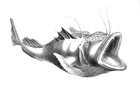 anglers: Victorian engraving of a angler fish