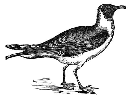 headed: 19th century engraving of a black-headed seagull Stock Photo