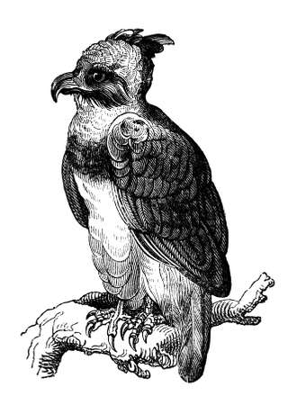 19th: 19th century engraving of a harpy