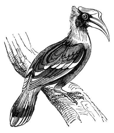 hornbill: 19th century engraving of a hornbill bird