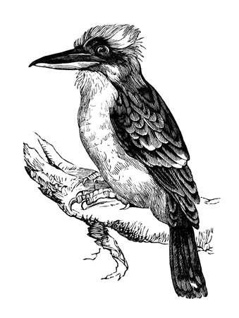 jackass: 19th century engraving of a jackass or kookaburra bird