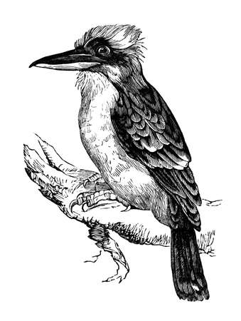 19th century engraving of a jackass or kookaburra bird