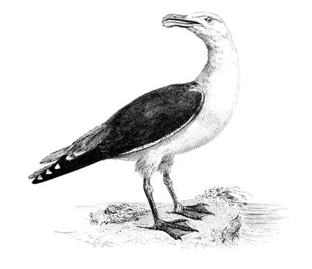 Victorian engraving of a black-backed gull. Digitally restored image from a mid-19th century Encyclopaedia.
