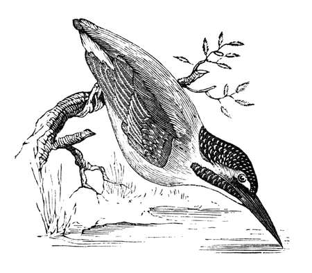 century: 19th century engraving of a kingfisher