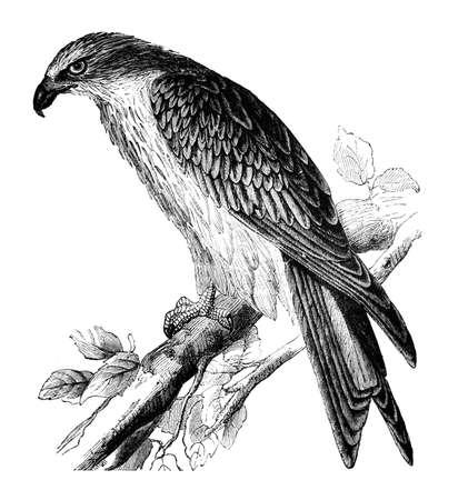 perch: 19th century engraving of a kite hawk