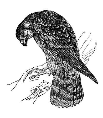 19th century engraving of a merlin hawk Imagens