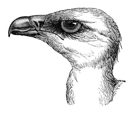 vulture: 19th century engraving of the head of a vulture