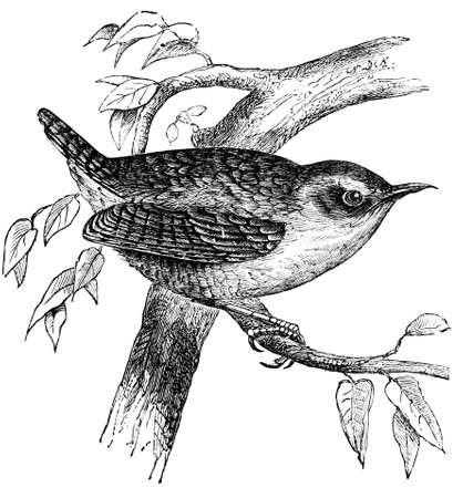 19th century engraving of a wren