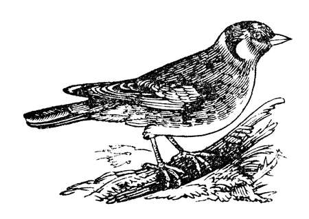 perch: 19th century engraving of  a goldfinch bird, photographed from a book  titled