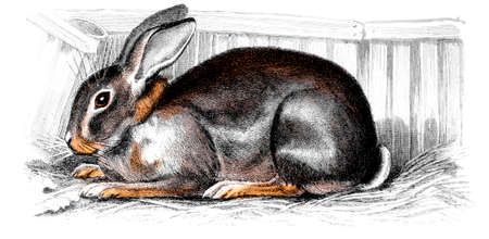 restored: Victorian engraving of a rabbit. Digitally restored image from a mid-19th century Encyclopaedia.