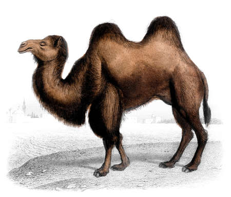 humps: Victorian engraving of a camel. Digitally restored image from a mid-19th century Encyclopaedia.