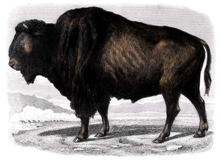 restored: Victorian engraving of a bison. Digitally restored image from a mid-19th century Encyclopaedia.