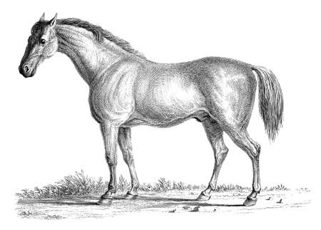 19th century engraving of a horse