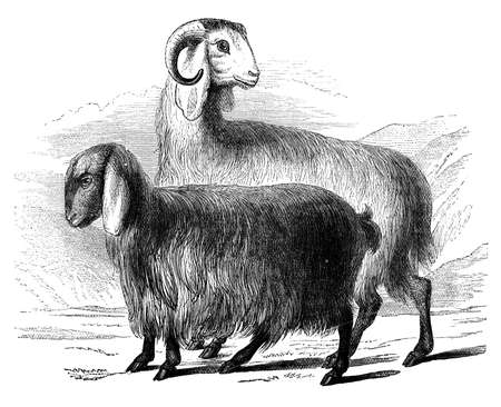 Syryjski: 19th century grawerowanie syryjskich kóz