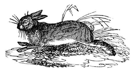 wild rabbit: 19th century engraving of a wild rabbit