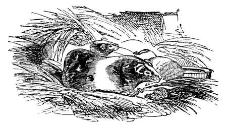 guinea pig: 19th century engraving of a guinea pig