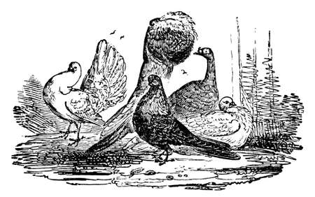 pigeons: 19th century engraving of different breeds of pigeons Stock Photo