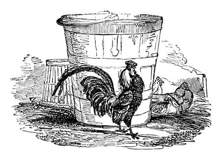 19th century engraving of a rooster Stok Fotoğraf