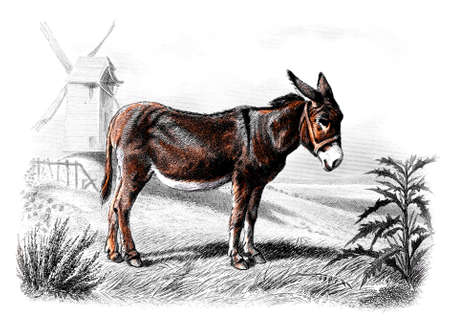 restored: Victorian engraving of a donkey. Digitally restored image from a mid-19th century Encyclopaedia.
