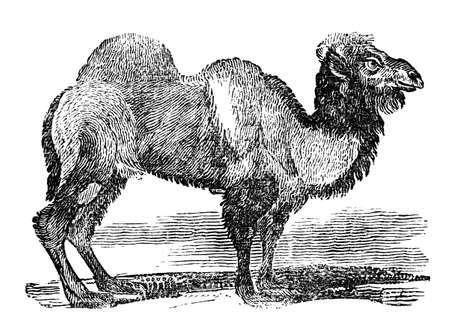 Victoriaanse gravure van een kameel. Digitaal gerestaureerd beeld uit een 19de eeuwse Encyclopedie. Stockfoto