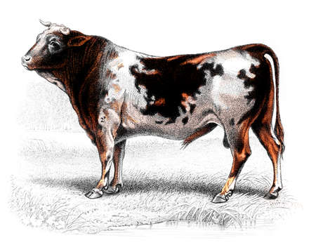 digitally: Victorian engraving of a cow. Digitally restored image from a mid-19th century Encyclopaedia.