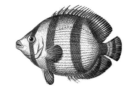 restored: Victorian engraving of a tropical fish. Digitally restored image from a mid-19th century Encyclopaedia.