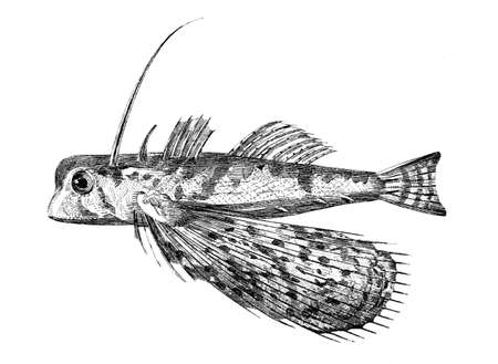 flying fish: Victorian engraving of a flying gurnard fish. Digitally restored image from a mid-19th century Encyclopaedia.