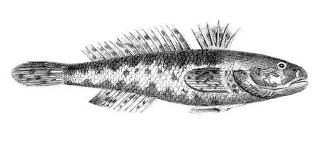 goby: Incisione vittoriana di un pesce ghiozzo nero. Immagine ripristinato da un met� del 19 � secolo Encyclopaedia. Archivio Fotografico