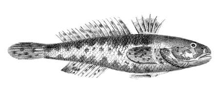 restored: Victorian engraving of a black goby fish. Digitally restored image from a mid-19th century Encyclopaedia.