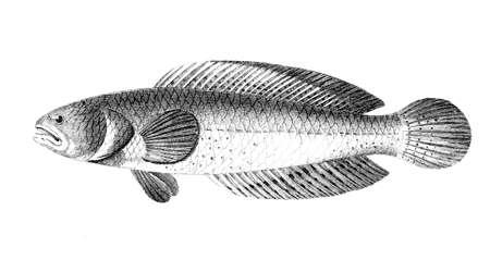 Victorian Gravur eines Schlangenkopffische. Digital restauriert Bild von einer Mitte des 19. Jahrhunderts Enzyklopädie. Standard-Bild - 42491104