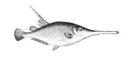Victorian engraving of a sea woodcock fish. Digitally restored image from a mid-19th century Encyclopaedia.