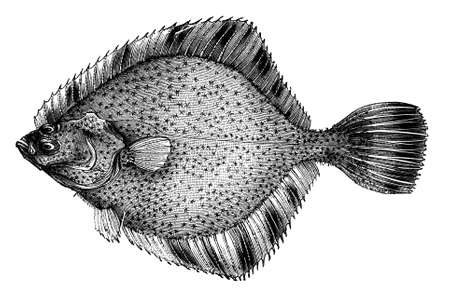 19th century engraving of a flatfish
