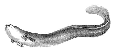 19th: 19th century engraving of a mud eel Stock Photo