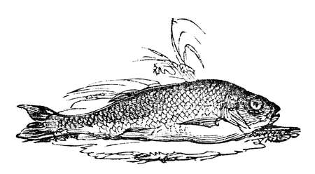 19th century engraving of a chub fish Фото со стока