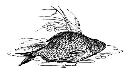 bream: 19th century engraving of a bream fish, photographed from a book  titled