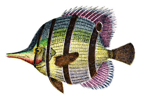 copperband butterflyfish: photographed from a book  titled