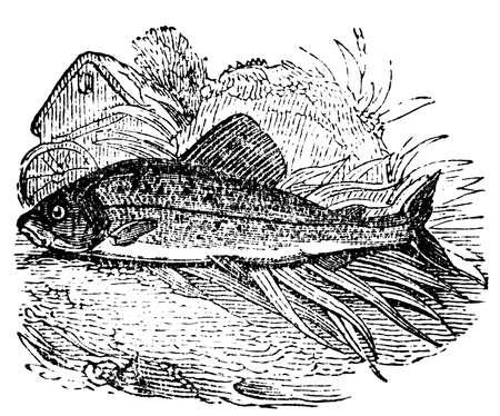 grayling: Grabado victoriana de un salm�n Grayling. Imagen digitalmente restaurada de una enciclopedia mediados del siglo 19.