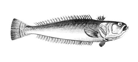 restored: Victorian engraving of a weever fish. Digitally restored image from a mid-19th century Encyclopaedia.