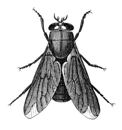 gad: 19th century engraving of a gad fly Stock Photo