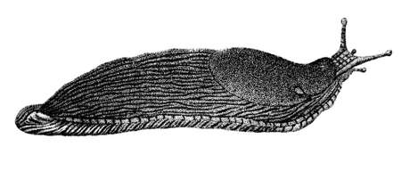 slug: 19th century engraving of a slug