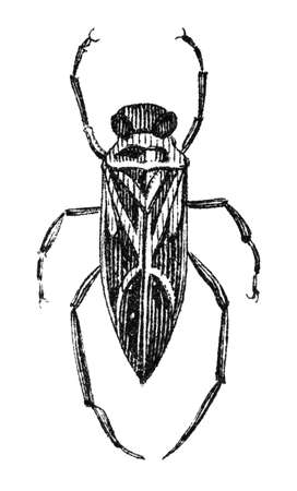 boatman: 19th century engraving of a water boatman bug or backswimmer