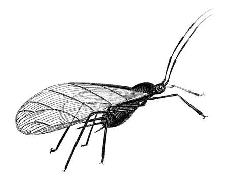 aphid: 19th century engraving of a rose aphid