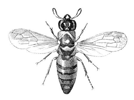 19th: 19th century engraving of a pollen wasp