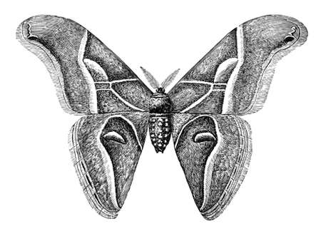 19th century engraving of a silk worm moth