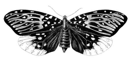 19th century engraving of a moth