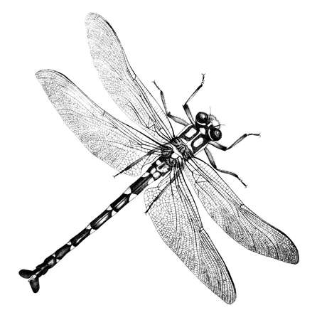 19th: 19th century engraving of a dragonfly