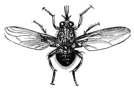 19th century engraving of a tse-tse fly Stock fotó