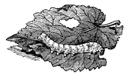 19th century engraving of a silkworm Reklamní fotografie
